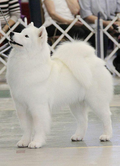 Echo Samoyeds Breeder Ohio Puppies
