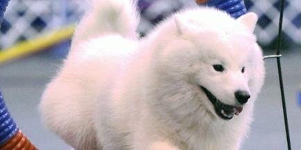 Echo Samoyeds Breeder Ohio Puppies